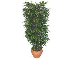 Mersin online çiçekçi , çiçek siparişi  Özel Mango 1,75 cm yüksekliginde