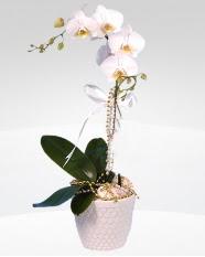 1 dallı orkide saksı çiçeği  Mersin cicek , cicekci