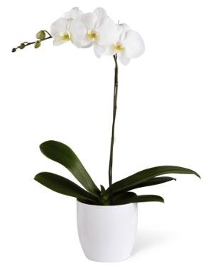 1 dallı beyaz orkide  Mersin ucuz çiçek gönder