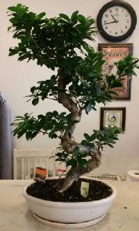 100 cm yüksekliğinde dev bonsai japon ağacı  Mersin uluslararası çiçek gönderme
