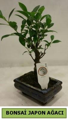 Bonsai japon ağacı saksı bitkisi  Mersin internetten çiçek satışı