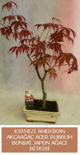 Amerikan akçaağaç Acer Rubrum bonsai  Mersin çiçek , çiçekçi , çiçekçilik