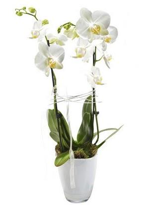 2 dallı beyaz seramik beyaz orkide saksısı  Mersin 14 şubat sevgililer günü çiçek
