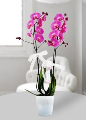 Çift dallı mor orkide  Mersin İnternetten çiçek siparişi