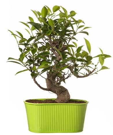 Ficus S gövdeli muhteşem bonsai  Mersin online çiçekçi , çiçek siparişi