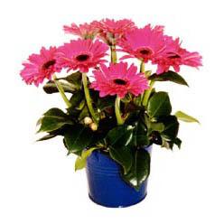 vazo içerisinde gerbera çiçekleri   Mersin çiçek gönderme