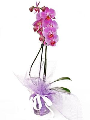 Mersin hediye çiçek yolla  Kaliteli ithal saksida orkide