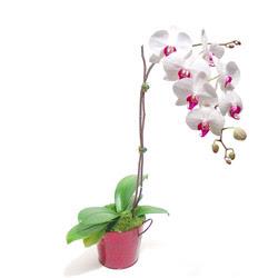 Mersin hediye sevgilime hediye çiçek  Saksida orkide