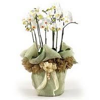 Mersin online çiçekçi , çiçek siparişi  3 dal orkide , saksi çiçegi , 3 kök orkide