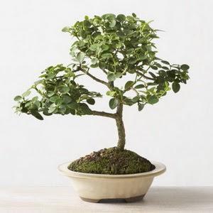 ithal bonsai saksi çiçegi  Mersin çiçek siparişi sitesi