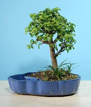 ithal bonsai saksi çiçegi  Mersin İnternetten çiçek siparişi