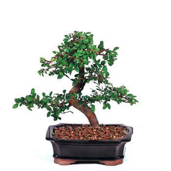 ithal bonsai saksi çiçegi  Mersin çiçek yolla