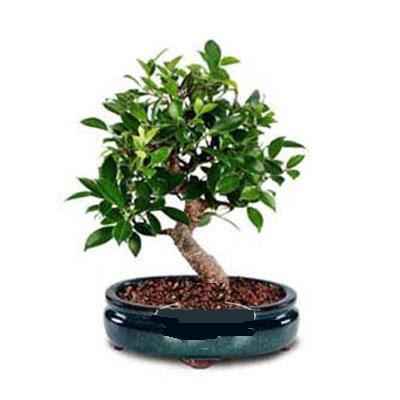 ithal bonsai saksi çiçegi  Mersin online çiçekçi , çiçek siparişi