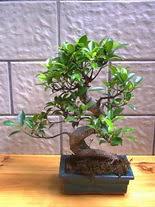 ithal bonsai saksi çiçegi  Mersin çiçekçi mağazası