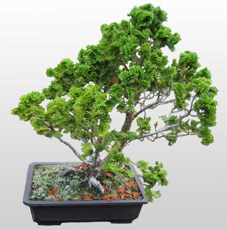 ithal bonsai saksi çiçegi  Mersin uluslararası çiçek gönderme