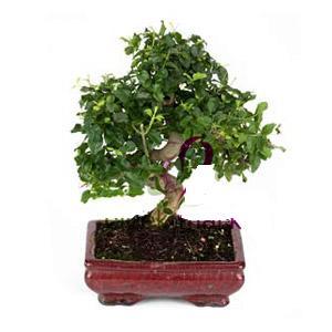 ithal bonsai saksi çiçegi  Mersin hediye çiçek yolla