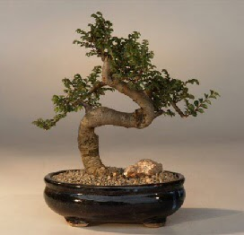 ithal bonsai saksi çiçegi  Mersin ucuz çiçek gönder