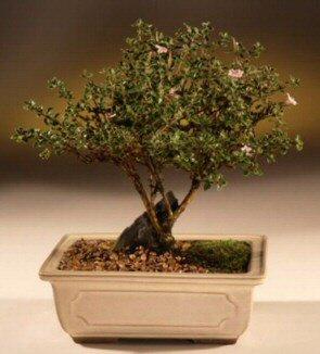 ithal bonsai saksi çiçegi  Mersin çiçekçiler