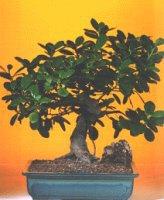 Mersin çiçek online çiçek siparişi  ithal bonsai saksi çiçegi  Mersin çiçek gönderme sitemiz güvenlidir