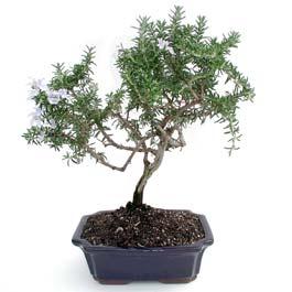ithal bonsai saksi çiçegi  Mersin çiçek online çiçek siparişi