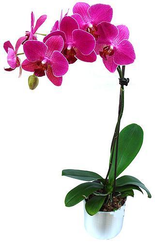 Mersin yurtiçi ve yurtdışı çiçek siparişi  saksi orkide çiçegi