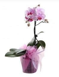 1 dal pembe orkide saksı çiçeği  Mersin internetten çiçek siparişi
