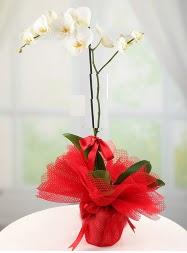 1 dal beyaz orkide saksı çiçeği  Mersin online çiçek gönderme sipariş