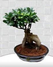 saksı çiçeği japon ağacı bonsai  Mersin internetten çiçek siparişi