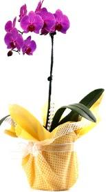 Mersin online çiçekçi , çiçek siparişi  Tek dal mor orkide saksı çiçeği