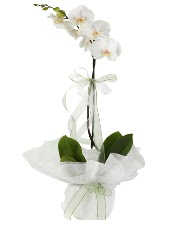 1 dal beyaz orkide çiçeği  Mersin çiçek yolla