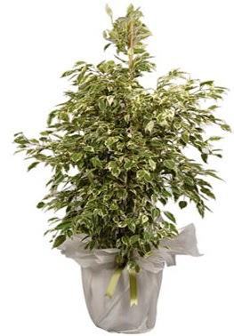 Orta boy alaca benjamin bitkisi  Mersin çiçek yolla , çiçek gönder , çiçekçi