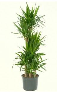 7 li yucca saksı bitkisi  Mersin internetten çiçek satışı