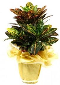 Orta boy kraton saksı çiçeği  Mersin ucuz çiçek gönder