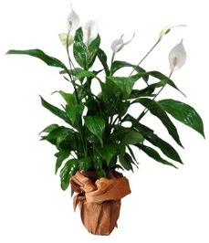 Orta boy barış çiçeği limon çiçeği  Mersin çiçek gönderme sitemiz güvenlidir