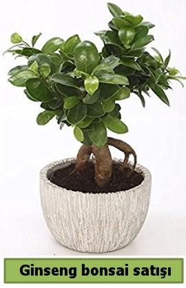 Ginseng bonsai japon ağacı satışı  Mersin çiçek online çiçek siparişi