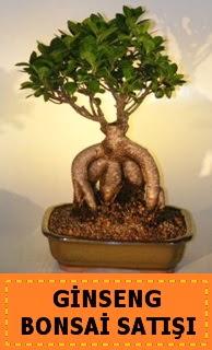 Ginseng bonsai satışı japon ağacı  Mersin çiçekçi telefonları