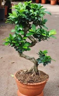 Orta boy bonsai saksı bitkisi  Mersin çiçek gönderme sitemiz güvenlidir