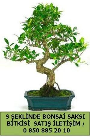 İthal S şeklinde dal eğriliği bonsai satışı  Mersin hediye sevgilime hediye çiçek
