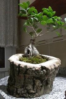 Ahşap kütük içerisinde ginseng bonsai  Mersin çiçek gönderme sitemiz güvenlidir