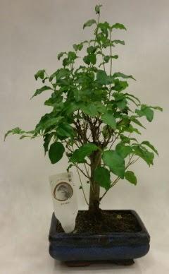 Minyatür bonsai japon ağacı satışı  Mersin çiçek online çiçek siparişi