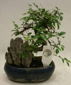 İthal 1.ci kalite bonsai japon ağacı  Mersin çiçek servisi , çiçekçi adresleri