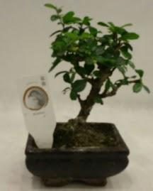 Küçük minyatür bonsai japon ağacı  Mersin hediye sevgilime hediye çiçek
