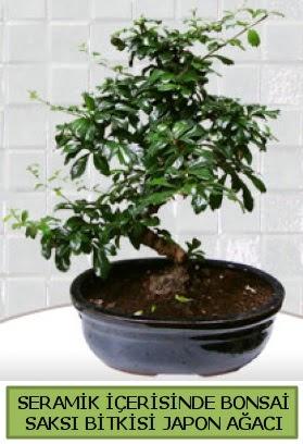 Seramik vazoda bonsai japon ağacı bitkisi  Mersin online çiçekçi , çiçek siparişi