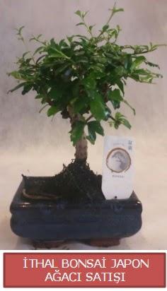 İthal küçük boy minyatür bonsai ağaç bitkisi  Mersin çiçek online çiçek siparişi