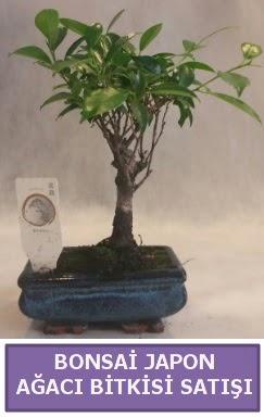 İthal Bonsai japon ağacı bitkisi satışı  Mersin uluslararası çiçek gönderme