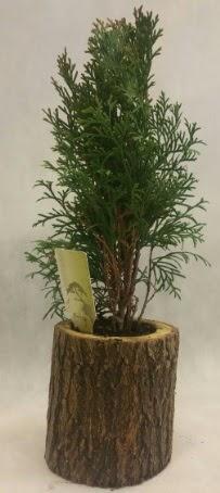 SINIRLI STOK Selvi Bonsai Doğal kütükte  Mersin uluslararası çiçek gönderme