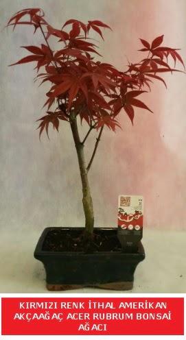 İTHAL ACER RUBRUM BONSAİ AĞACI  Mersin 14 şubat sevgililer günü çiçek