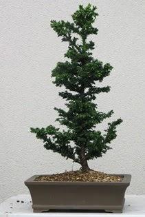 Çam ağacı bonsai bitkisi satışı  Mersin çiçek online çiçek siparişi