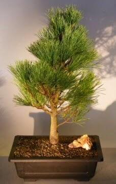 Çam ağacı japon ağacı bitkisi bonsai  Mersin çiçek online çiçek siparişi