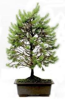 *** STOKTA YOK - Çam ağacı bonsai bitkisi satışı  Mersin çiçek satışı
